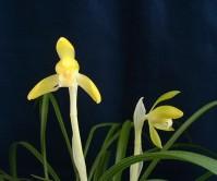 일본춘란 황화(호박전)7촉 꽃 1경