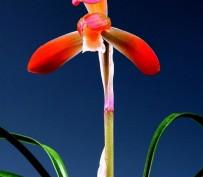 홍화(수사)5촉 꽃 1경