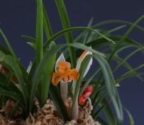 t산반주홍화(무명)20촉 꽃 3경
