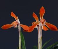 대륜홍화(무명)10촉 꽃3경
