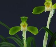 화형소심(무명)8촉 꽃2경