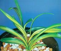 단엽중투(태평)2촉신아1개