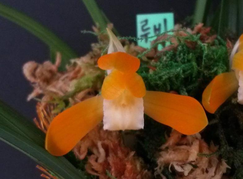 주금소심(루비 )6촉
