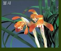 홍화(불새 )9촉 꽃4경