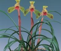 수채색설(세자비)7촉 꽃2경