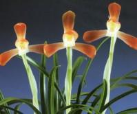 적홍소심(부활)2촉 꽃1경
