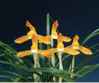 주금소심(화룡)8촉 꽃2경