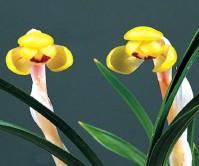 황화두화(금성)4촉 꽃3경
