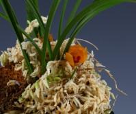 원판주홍화(아사달)3촉 꽃1경
