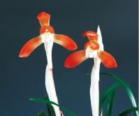 홍화(서홍)7촉 꽃2경