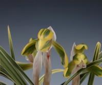 황복륜화(예명 해룡 )6촉 꽃3경