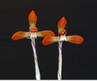 홍화(예명 장춘 )6촉 꽃2경