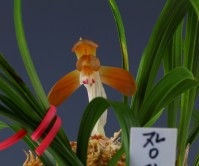 홍화(장단)5촉 꽃1경