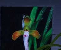 홍화(영아)9촉 꽃3경