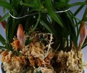 주홍화(첫꽃)20촉이상 꽃3경