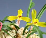 황화(첫개화)6촉 꽃2경