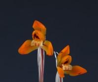주금화(천자 )4촉 꽃2경