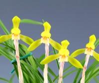 산채후첫꽃 황화