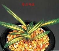 태황-단엽중투
