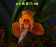 영춘화-꽃2경
