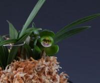 두화(무명)3촉  신아1개 꽃2경
