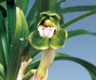 산반두화(옥산) 3촉 꽃 3경