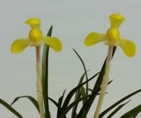 황화(소황)4촉 꽃 1경